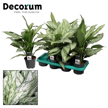 Aglaonema Silver Queen (Decorum)