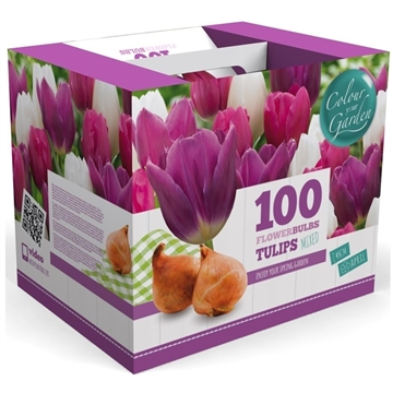 2 m2 Spring Colours Tulip Triumph Purple/Pink/White mix