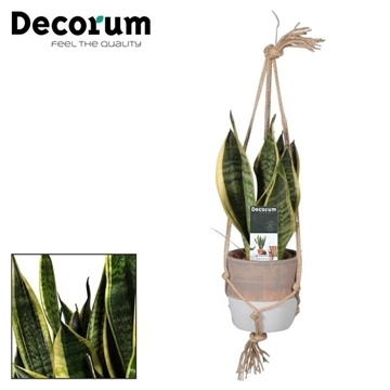 Sansevieria Superba in Macrame hanger (Decorum)