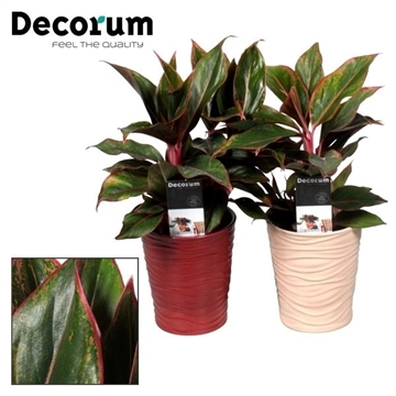 Collectie Reflections of Pure - Aglaonema Crete 12 cm in vaas Sonora (Decorum)