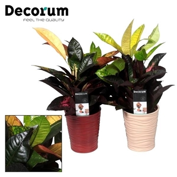 Collectie Reflections of Pure - Croton kopstek 12 cm in vaas Sonora (Decorum)