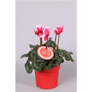 MoreLIPS® Cyclamen Merita Shine Red