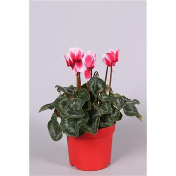 Cyclamen Super Serie Allure in Ton sur Ton kweekpot Merita Shine Red