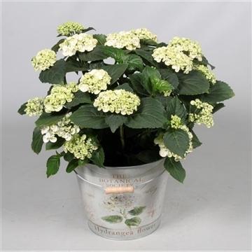 Hydrangea Curly Wurly Wit 7 - 12 kop in Bucket