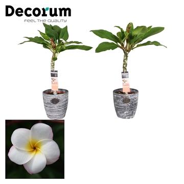 Plumeria Hawaiian Pearl 1tak Robuuste pot