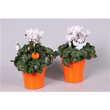 "Cyclamen in Oranje ""Bombé"" keramiek met HALLOWEENstekers"