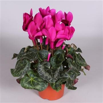 Cyclaam grootbl paars