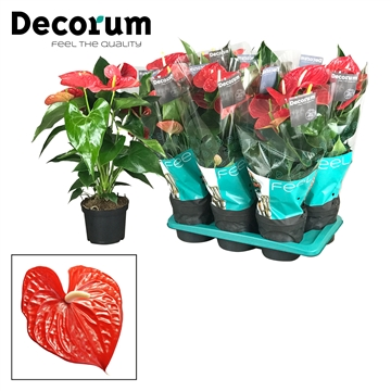 Anthurium Michigan pot 17 GROOTBLOEMIG ROOD