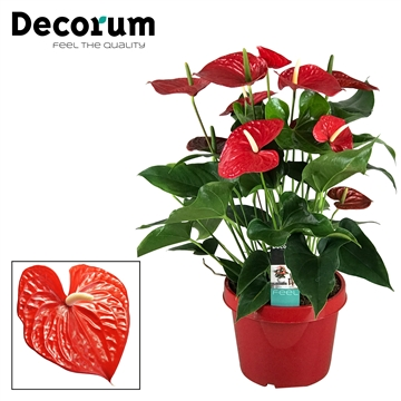 Anthurium Michigan pot 26
