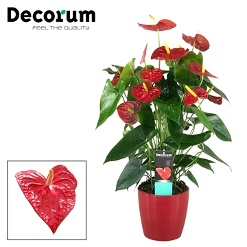 Anthurium Dakota pot 17 in keramiek