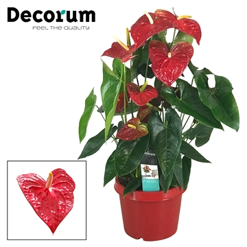 Anthurium Dakota pot 26 RODE POT