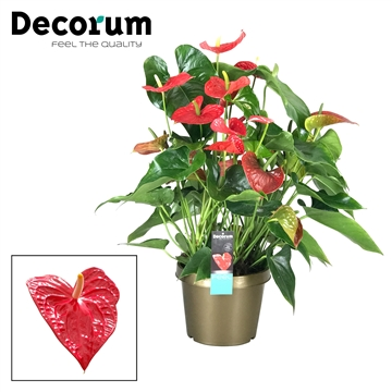 Anthurium Dakota pot 26 GOUDEN POT