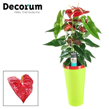 Anthurium Dakota pot 26 incl watersysteem
