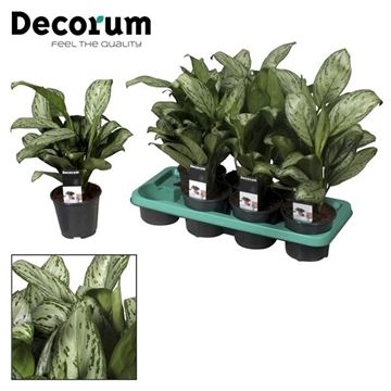 Aglaonema Maria Christina (Decorum)