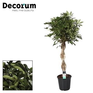 Schefflera Nora zware vlecht stam (Decorum)