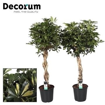 Schefflera zware vlecht stam mix (Decorum)