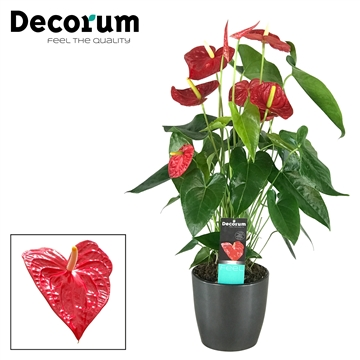 Anthurium Dakota pot 17  keramiek antraciet/rood/wit