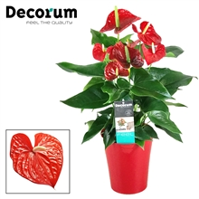 Anthurium Michigan pot 17 incl watersysteem