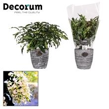 Clerodendrum Prospero 17 cm Robuuste pot