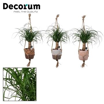 Beaucarnea Recht 12 cm hangend in Texas (Decorum)