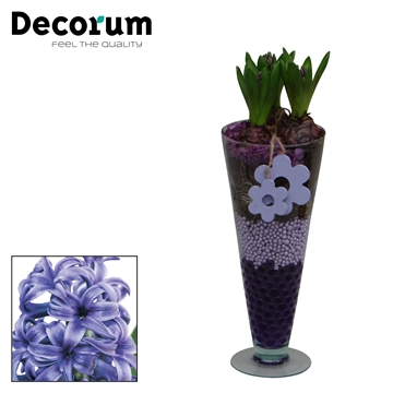 Hyacint Lincoln HL15013BP [CHARMING PURPLE]