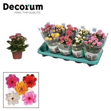 Kalanchoe Decorum - Serenity Mix
