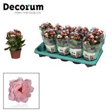 Kalanchoë Decorum - Serenity Soft Pink