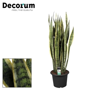 Sansevieria Laurentii (30+blad) in deco pot 110-120 cm (Decorum)