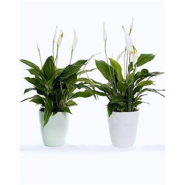 Reflections of Fantasy - Spathiphyllum 13 cm 'Bellini®' in Laura