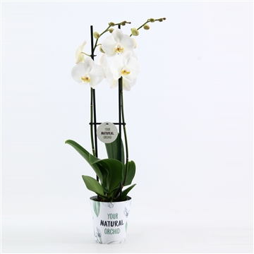 2-tak wit + Potcover DuitsYour Natural Orchid
