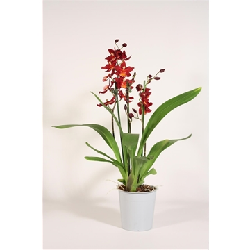 Cambria 3 tak Red Ruby