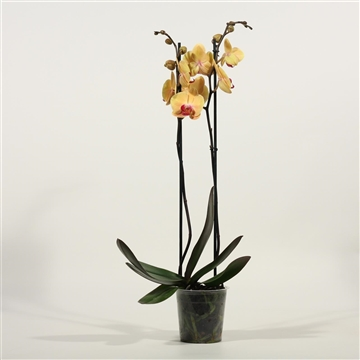Phalaenopsis 2 tak Golden Beauty (Decorum)
