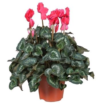 Cyclamen gr.bl. 'Halios' Curly Red