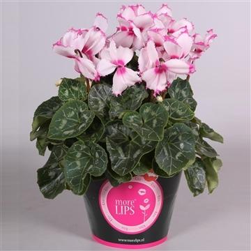 MoreLIPS® Cyclamen gr.bl. 'Halios'  Victoria in potcover