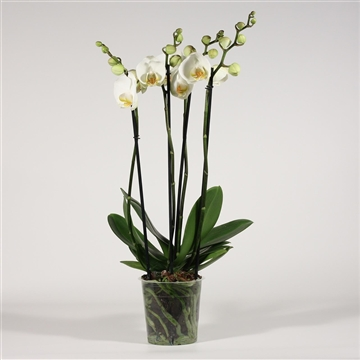Phalaenopsis 4 tak wit (Decorum)
