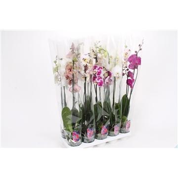 Phalaenopsis 2-Tak basic mix 75cm R2-3