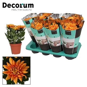 Chrysanthemum Chrysanne® 'Nova Zembla' Durango Russia Decorum