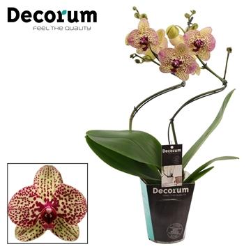 Phalaenopsis hurricane Kleopatra (Decorum)