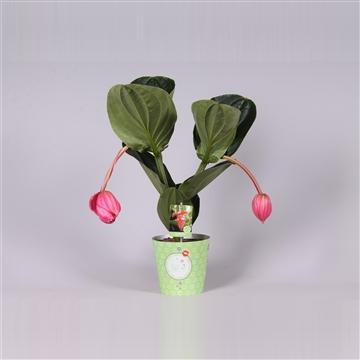 MoreLIPS® Medinilla magnifica Flamenco 2 etage 2 flower buds in potcover