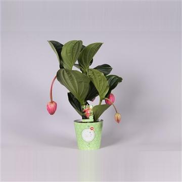 MoreLIPS® Medinilla magnifica Flamenco 2 etage 3 flower buds in potcover
