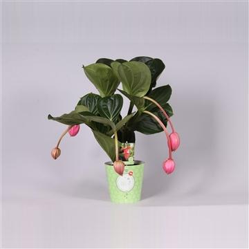 MoreLIPS® Medinilla magnifica Flamenco 2 etage 5 flower buds in potcover