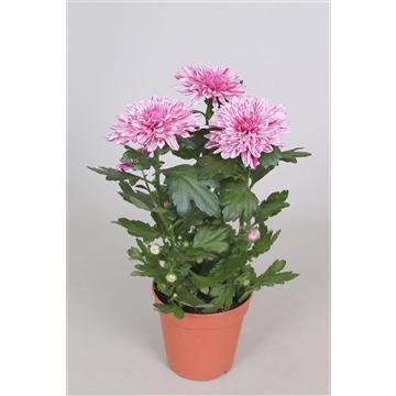 Chrysanthemum Chrysanne® 'Nova Zembla' VIP