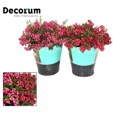 Pernettya Decorum 17cm Mix