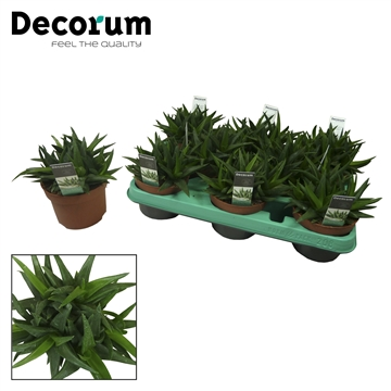 Aloe 'Black Gem' (Decorum)