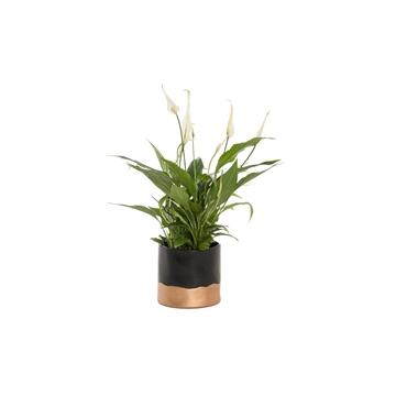 Basic & Gold - Spathiphyllum 13 cm 'Bellini' in Bella Black/ Gold