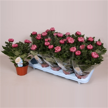 Deco Chrysant Cosmo Paars 12cm 3pp