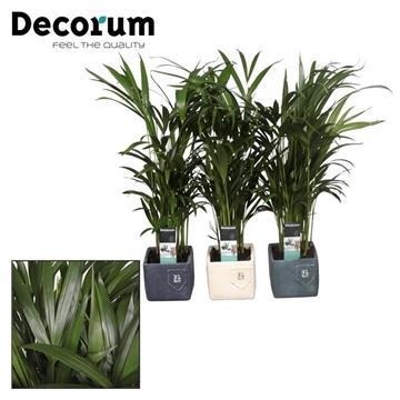 Collectie Aviva - Dypsis lutescens (Areca) in Jeans pot (Decourm)