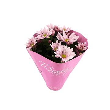 Tisento chrysant 12cm roze pastel