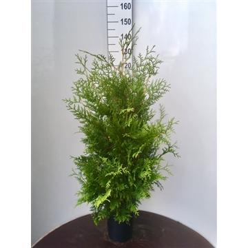Thuja occidentalis 'Brabant', plantmaat 100-120