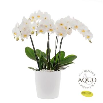 Midi-flora 6 tak Aqua Care (3dagen levertijd)